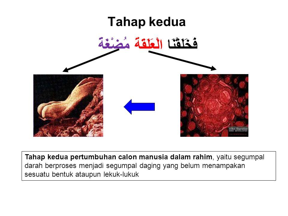 Tahap kedua فَخَلَقْنَا الْعَلَقَةَ مُضْغَةً Tahap kedua pertumbuhan calon manusia dalam rahim, yaitu segumpal darah berproses menjadi segumpal daging yang belum menampakan sesuatu bentuk ataupun lekuk-lukuk