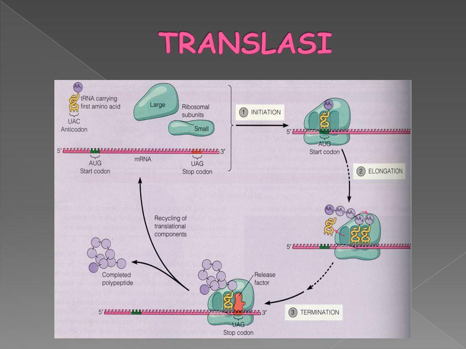  Pengikatan faktor inisiasi (IF1,IF2,IF3) ke ribosom sub unit kecil  Pengikatan mol.charge tRNA dan mRNA ke ribosom sub unit kecil  Pembentukan kompleks inisiasi 70S