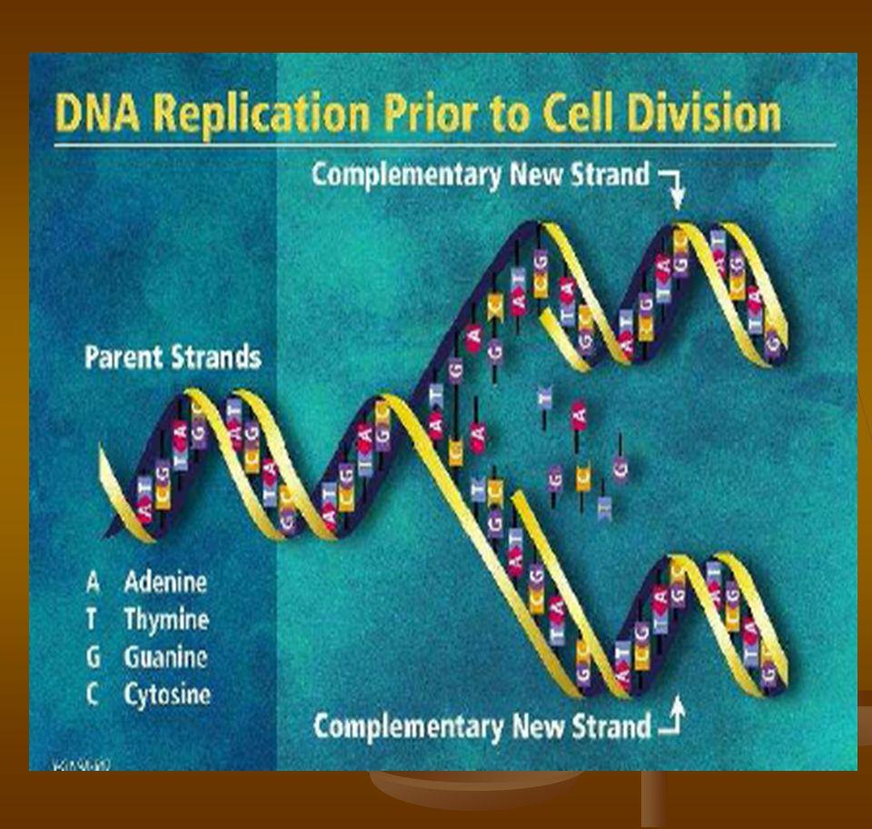 Replikasi semi-konservatif  Karena masing-masing untai DNA baru adalah komplemen terhadap untai templatenya, maka kopi DNA baru yang identik dengan template double heliks dihasilkan selama replikasi.