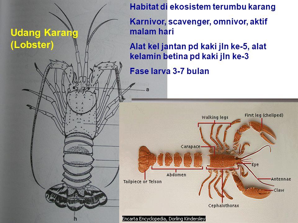 Udang Karang (Lobster) Habitat di ekosistem terumbu karang Karnivor, scavenger, omnivor, aktif malam hari Alat kel jantan pd kaki jln ke-5, alat kelam