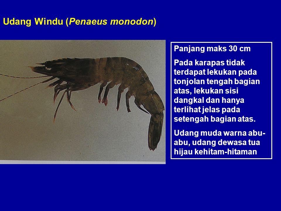 Udang Windu (Penaeus monodon) Panjang maks 30 cm Pada karapas tidak terdapat lekukan pada tonjolan tengah bagian atas, lekukan sisi dangkal dan hanya