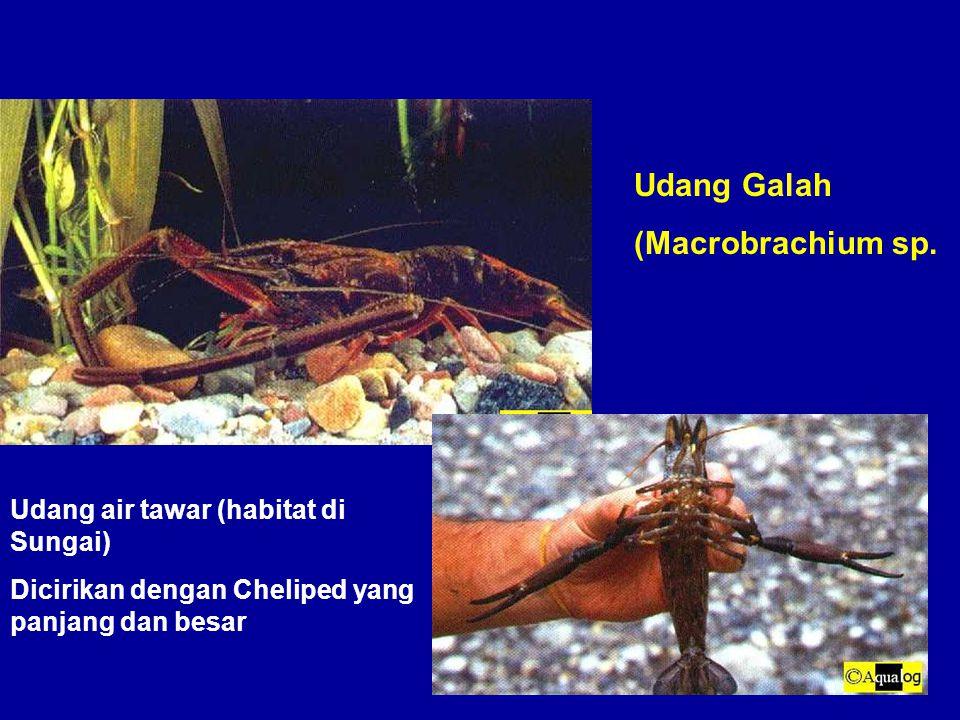 Udang Galah (Macrobrachium sp. Udang air tawar (habitat di Sungai) Dicirikan dengan Cheliped yang panjang dan besar