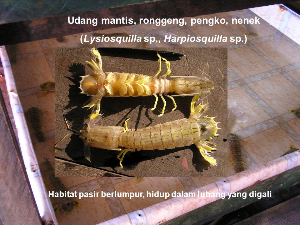 Udang mantis, ronggeng, pengko, nenek (Lysiosquilla sp., Harpiosquilla sp.) Habitat pasir berlumpur, hidup dalam lubang yang digali