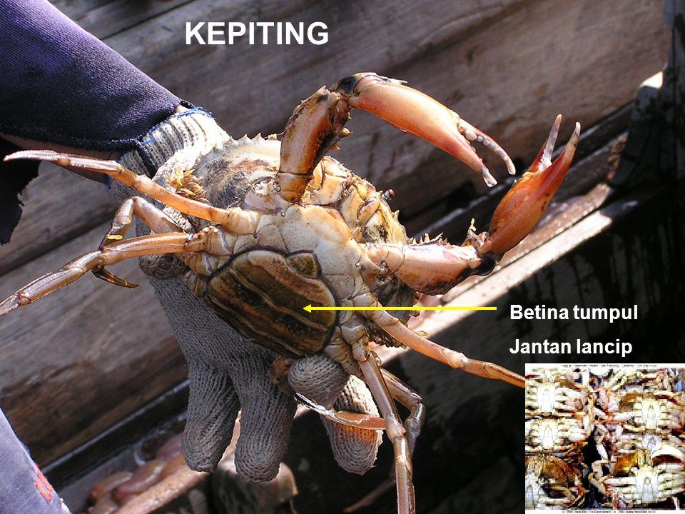 KEPITING Betina tumpul Jantan lancip