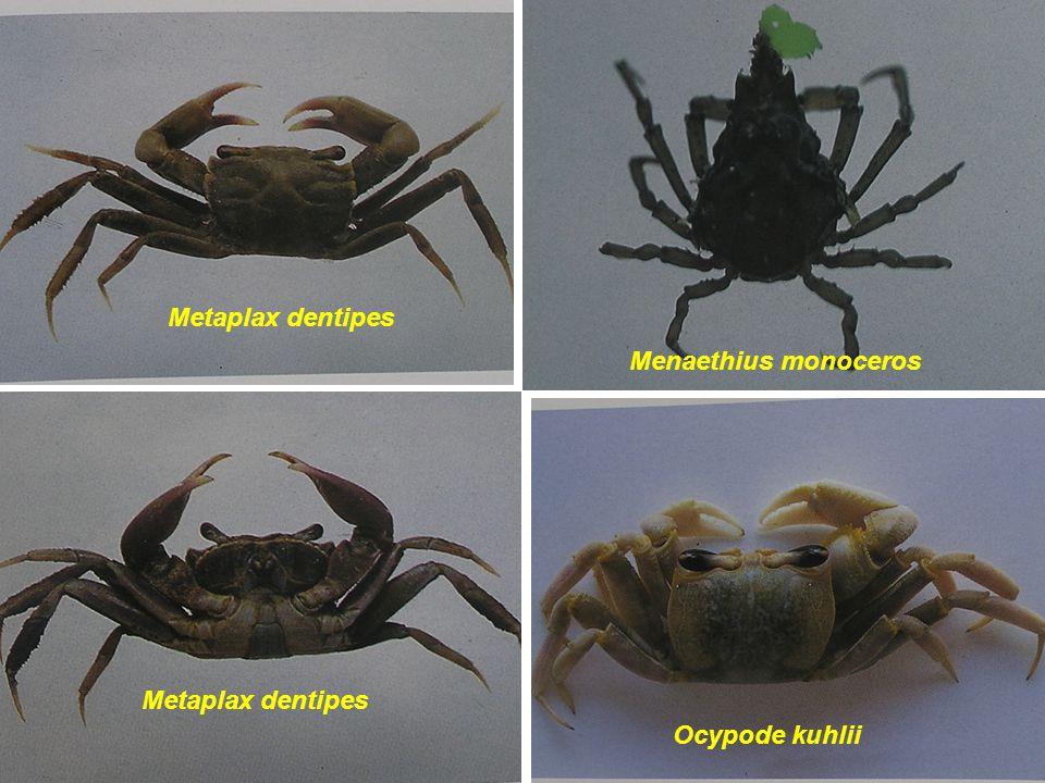 Metaplax dentipes Menaethius monoceros Ocypode kuhlii