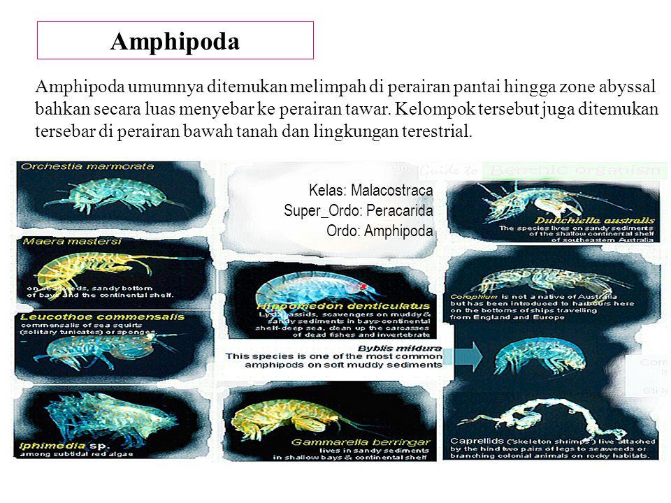 Amphipoda Amphipoda umumnya ditemukan melimpah di perairan pantai hingga zone abyssal bahkan secara luas menyebar ke perairan tawar. Kelompok tersebut