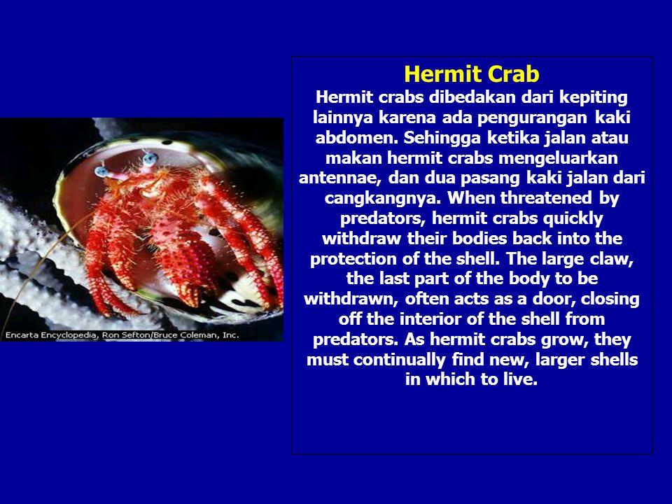 Hermit Crab Hermit crabs dibedakan dari kepiting lainnya karena ada pengurangan kaki abdomen. Sehingga ketika jalan atau makan hermit crabs mengeluark