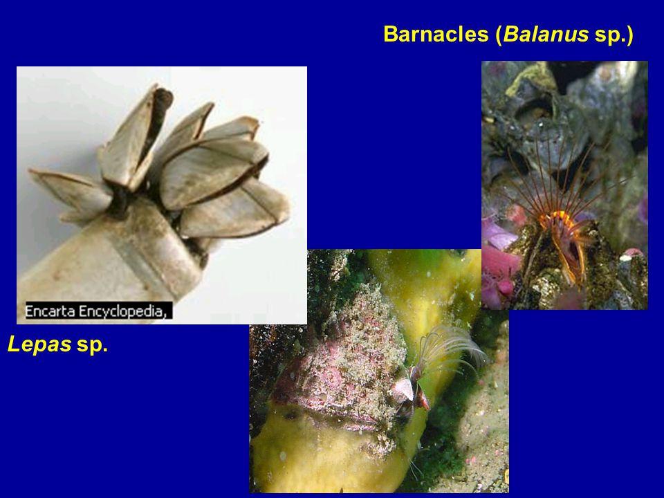 Barnacles (Balanus sp.) Lepas sp.