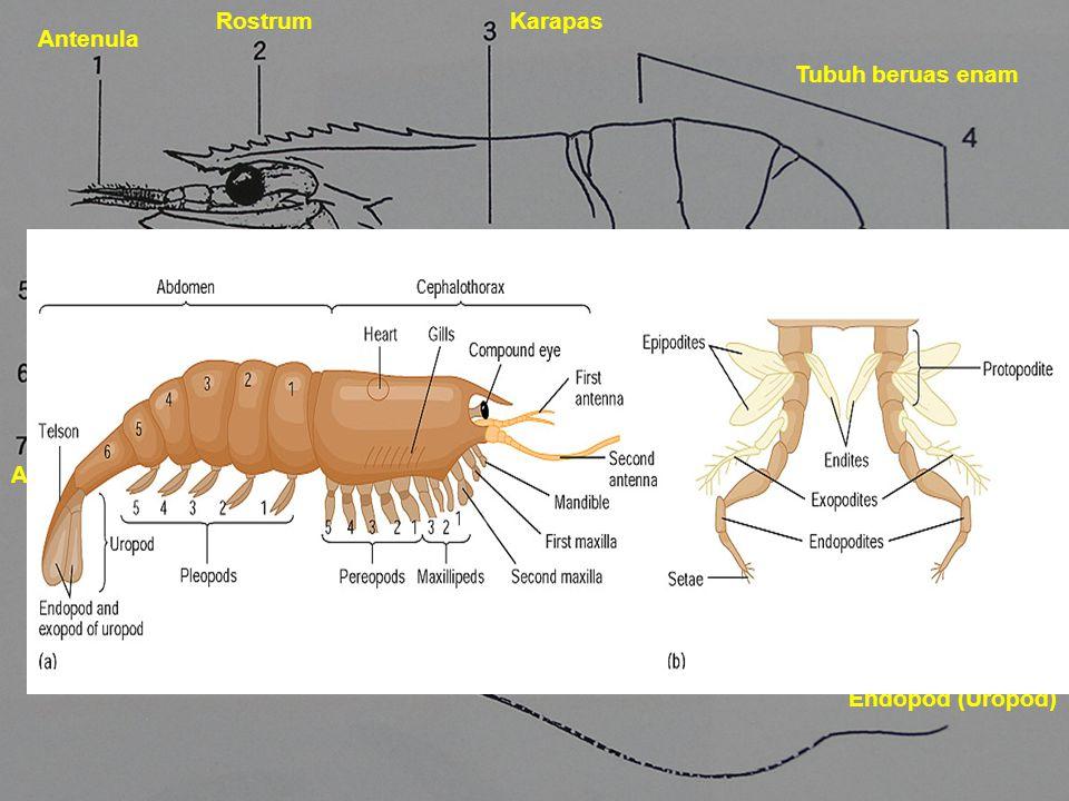 Antenula RostrumKarapas Tubuh beruas enam Scaphocerite Maksila Antena Kaki PeriopodTelson Eksopod dan Endopod (Uropod)