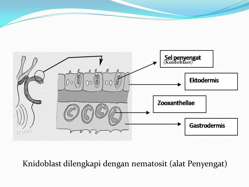Knidoblast dilengkapi dengan nematosit (alat Penyengat) (Knidoblast)