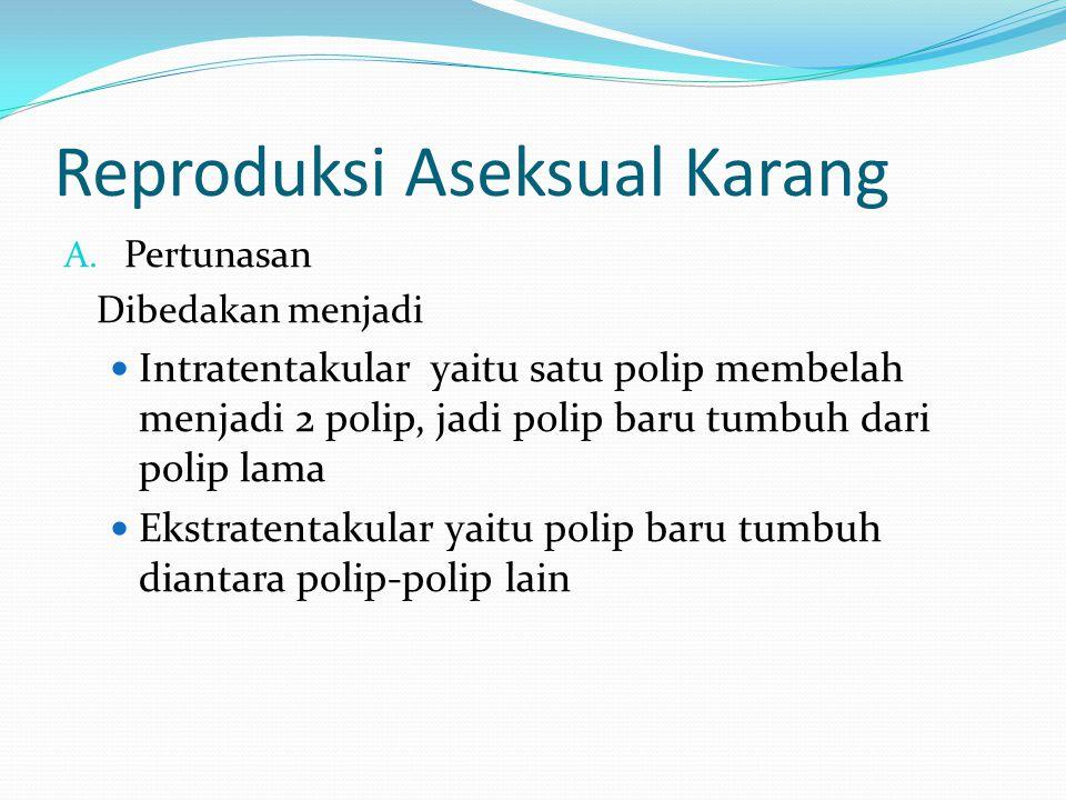 Reproduksi Aseksual Karang A. Pertunasan Dibedakan menjadi  Intratentakular yaitu satu polip membelah menjadi 2 polip, jadi polip baru tumbuh dari po