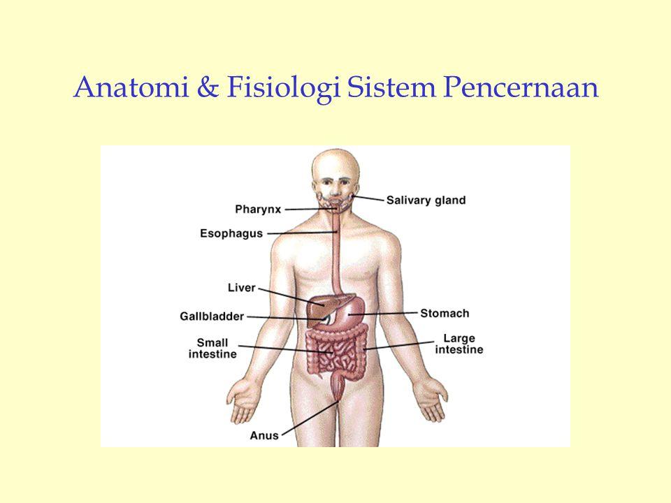 Anatomi & Fisiologi Sistem Pencernaan
