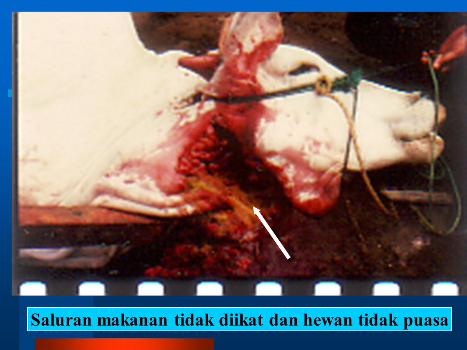 Saluran makanan tidak diikat dan hewan tidak puasa