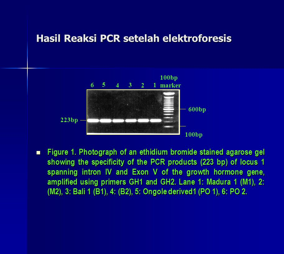 Hasil Reaksi PCR setelah elektroforesis  Figure 1. Photograph of an ethidium bromide stained agarose gel showing the specificity of the PCR products