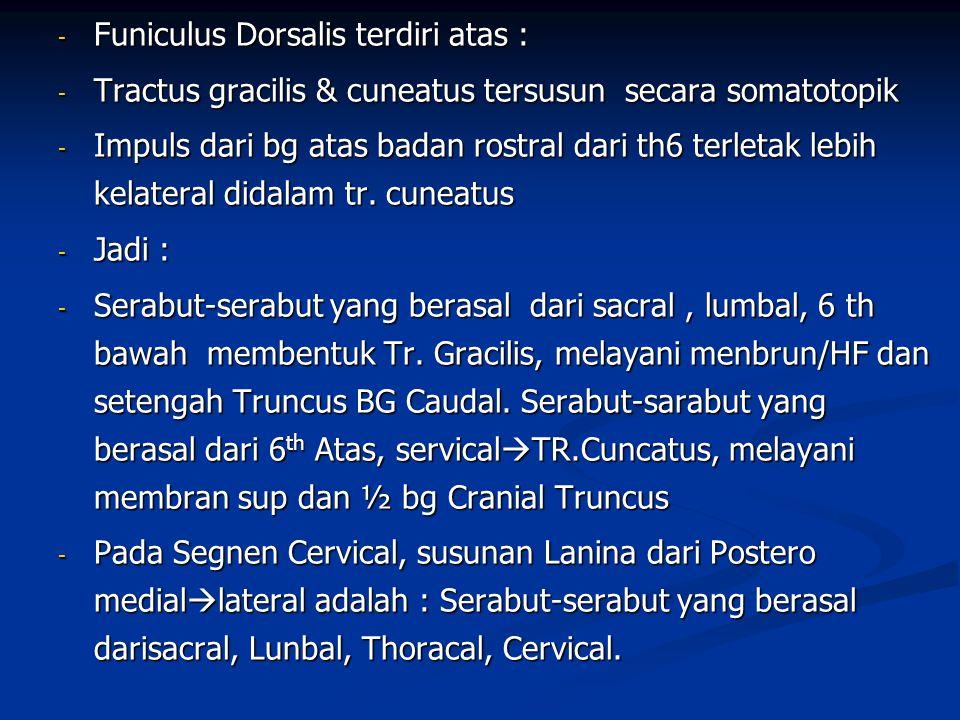 - Funiculus Dorsalis terdiri atas : - Tractus gracilis & cuneatus tersusun secara somatotopik - Impuls dari bg atas badan rostral dari th6 terletak le