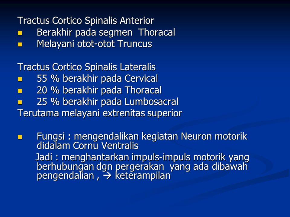 Tractus Cortico Spinalis Anterior  Berakhir pada segmen Thoracal  Melayani otot-otot Truncus Tractus Cortico Spinalis Lateralis  55 % berakhir pada
