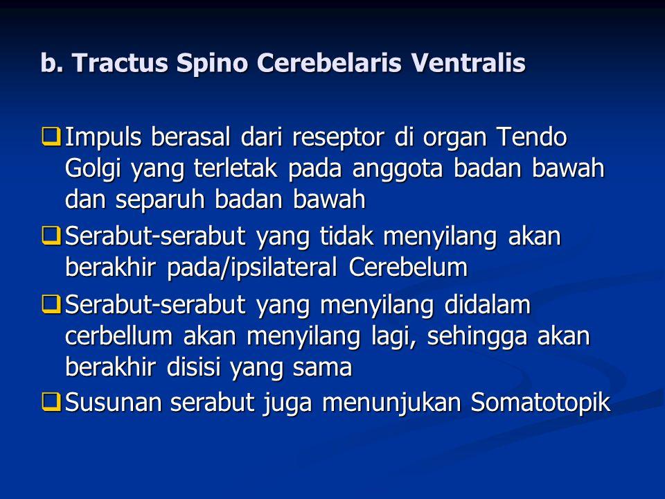 b. Tractus Spino Cerebelaris Ventralis  Impuls berasal dari reseptor di organ Tendo Golgi yang terletak pada anggota badan bawah dan separuh badan ba