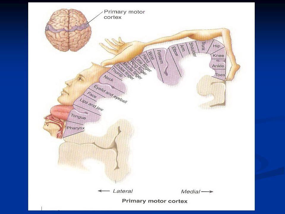 Fungsi :  diduga memegang peranan dlm pergerakan- pergerakan reflex kepala akibat rangsangan penglihatan  Axon-axon berasal dari lapisan sebelah dalam colliculus sup pada mesencephalons 5.