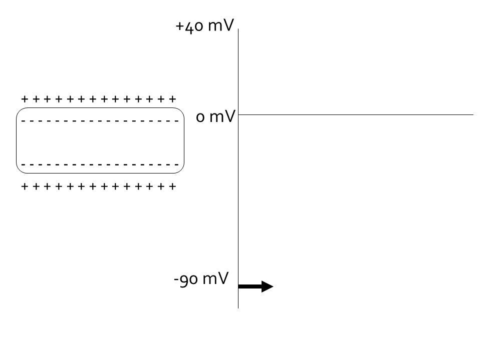 -90 mV 0 mV +40 mV + + + + + + + - - - - - - - - - - - - - - - - - - -