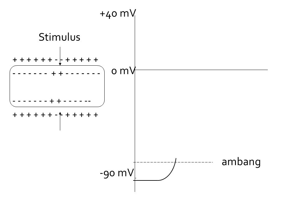 -90 mV 0 mV +40 mV + + + + + + - - + + + + + - - - - - - - + + - - - - - - - - - - - - - - + + - - - - -- Stimulus ambang