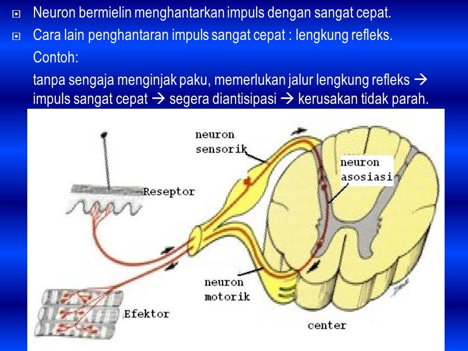  Neuron bermielin menghantarkan impuls dengan sangat cepat.  Cara lain penghantaran impuls sangat cepat : lengkung refleks. Contoh: tanpa sengaja me