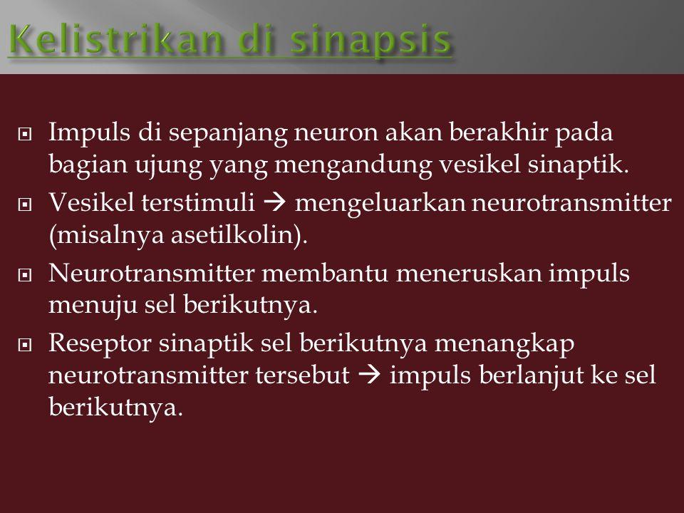  Impuls di sepanjang neuron akan berakhir pada bagian ujung yang mengandung vesikel sinaptik.  Vesikel terstimuli  mengeluarkan neurotransmitter (m