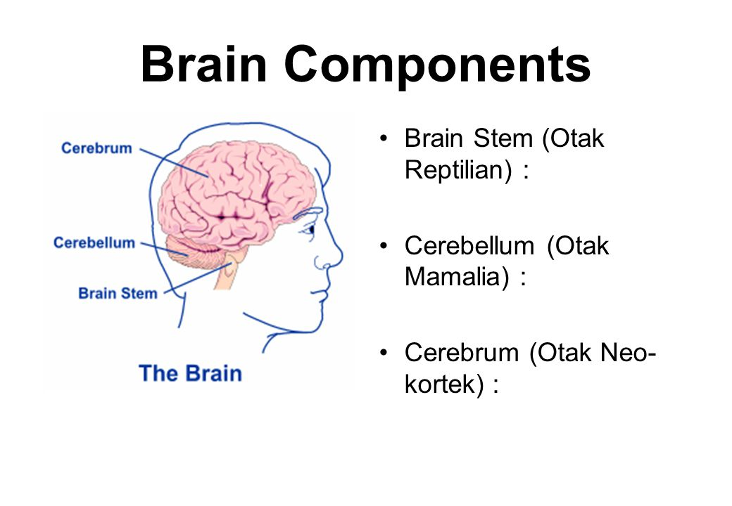 Brain Components •Brain Stem (Otak Reptilian) : •Cerebellum (Otak Mamalia) : •Cerebrum (Otak Neo- kortek) :