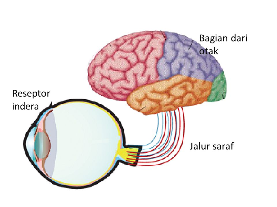 Reseptor indera Jalur saraf Bagian dari otak