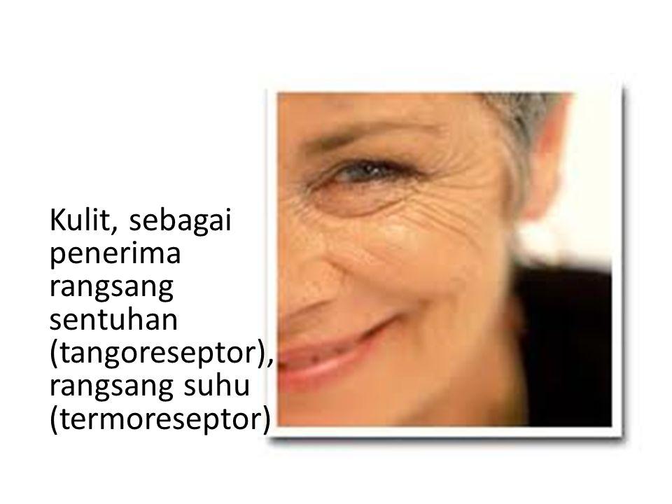 • Saraf Optik (saraf mata) Saraf Mata berfungsi untuk meneruskan rangsang cahaya yang telah diterima.
