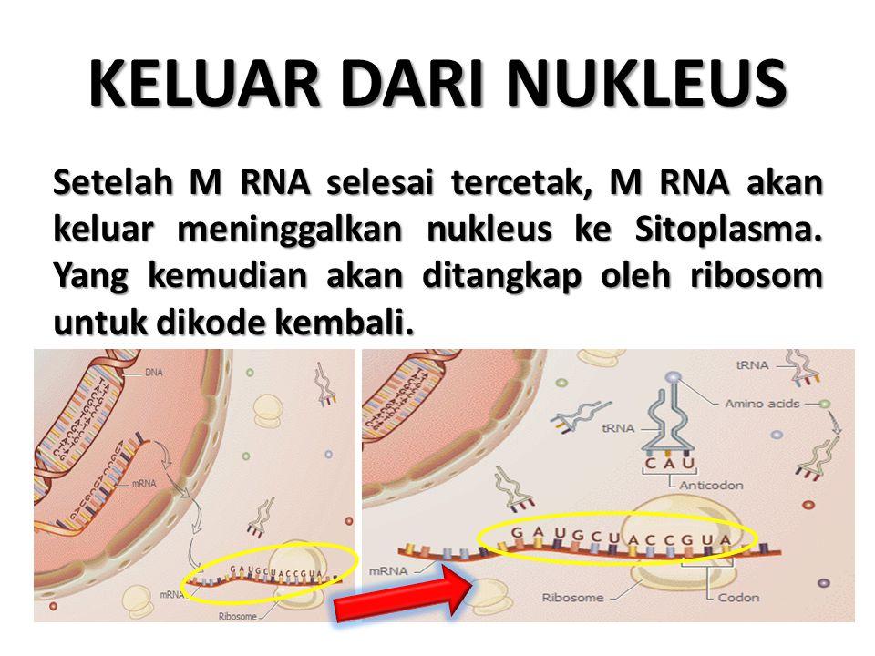 KELUAR DARI NUKLEUS Setelah M RNA selesai tercetak, M RNA akan keluar meninggalkan nukleus ke Sitoplasma. Yang kemudian akan ditangkap oleh ribosom un