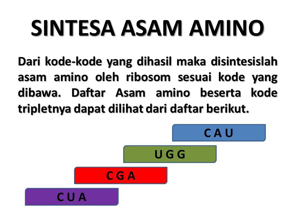 SINTESA ASAM AMINO Dari kode-kode yang dihasil maka disintesislah asam amino oleh ribosom sesuai kode yang dibawa. Daftar Asam amino beserta kode trip