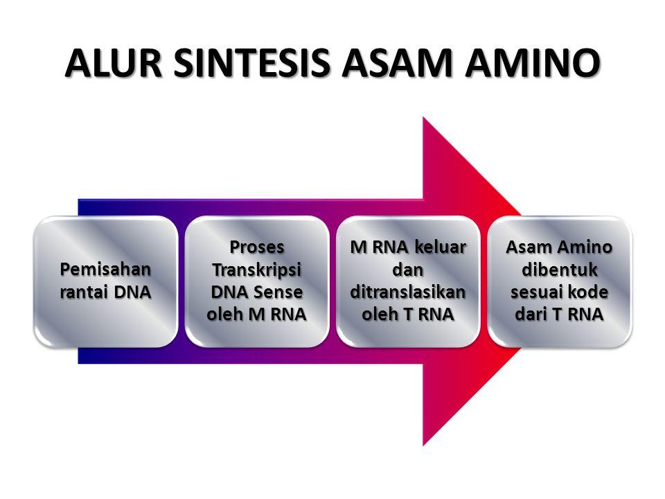 ALUR SINTESIS ASAM AMINO Pemisahan rantai DNA Proses Transkripsi DNA Sense oleh M RNA M RNA keluar dan ditranslasikan oleh T RNA Asam Amino dibentuk sesuai kode dari T RNA