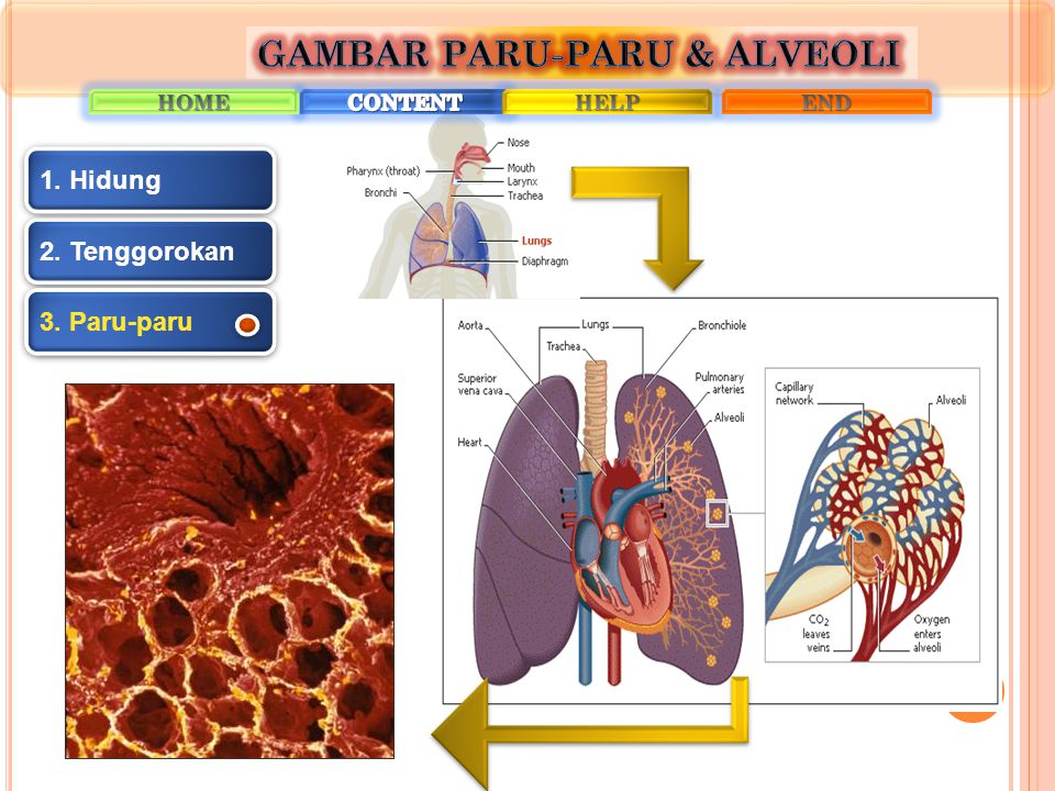 2. Tenggorokan 1. Hidung 3. Paru-paru
