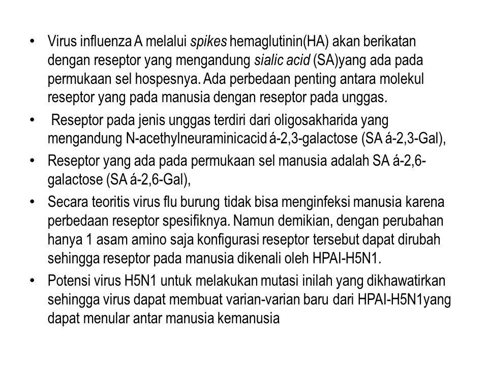 • Virus influenza A melalui spikes hemaglutinin(HA) akan berikatan dengan reseptor yang mengandung sialic acid (SA)yang ada pada permukaan sel hospesnya.