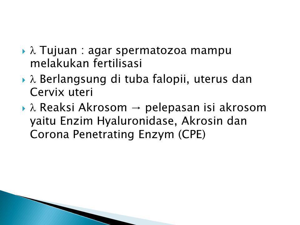   Tujuan : agar spermatozoa mampu melakukan fertilisasi   Berlangsung di tuba falopii, uterus dan Cervix uteri   Reaksi Akrosom → pelepasan isi