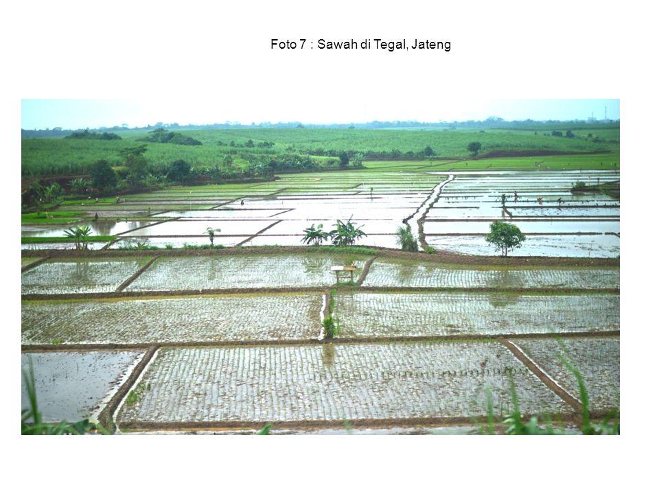 Foto 7 : Sawah di Tegal, Jateng