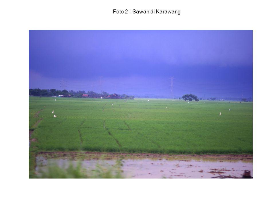 Foto 2 : Sawah di Karawang
