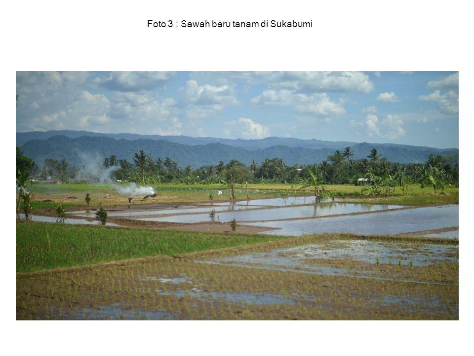 Foto 3 : Sawah baru tanam di Sukabumi