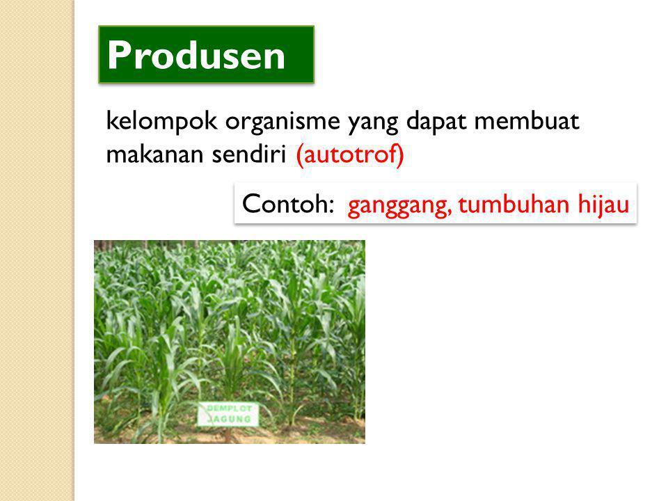 Produsen kelompok organisme yang dapat membuat makanan sendiri (autotrof) Contoh: ganggang, tumbuhan hijau