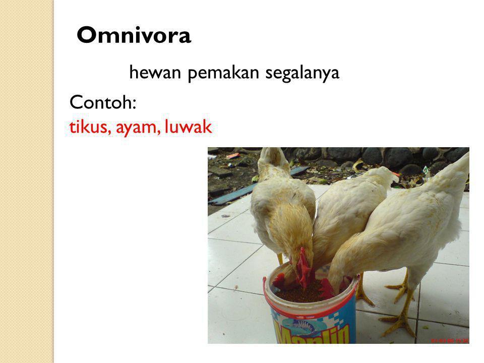 Contoh: tikus, ayam, luwak Omnivora hewan pemakan segalanya