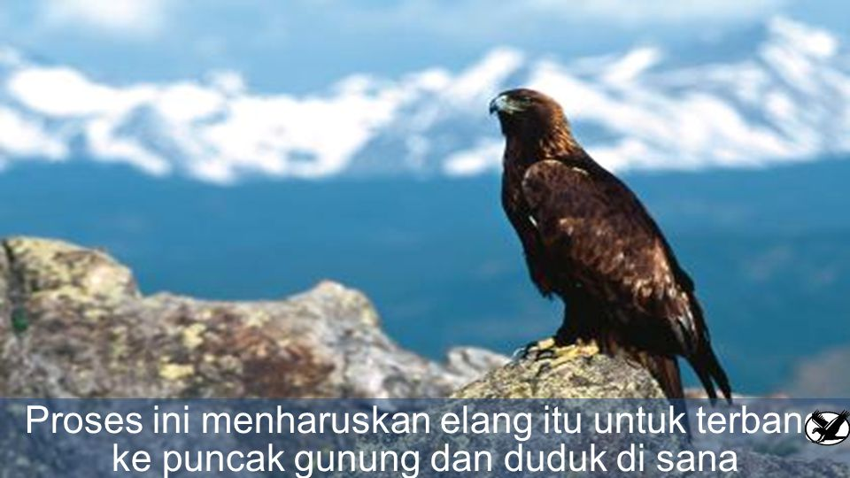 Kemudian, elang itu akan menghadapi dua pilihan: apakah dia mati atau dia harus melalui proses menyakitkan dengan harus mengalami proses perubahan yan