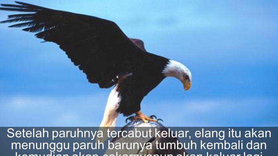 Disana elang itu harus mematuk-matukkan paruhnya ke batu sampai akhirnya paruhnya itu itupun tercomot atau patah.