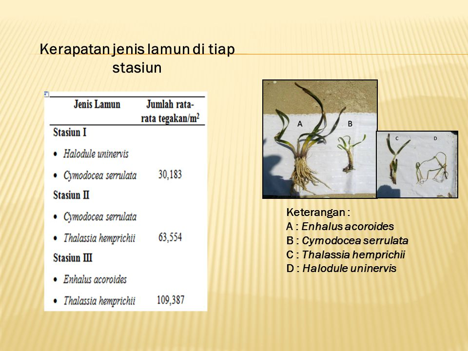 Keterangan : A : Enhalus acoroides B : Cymodocea serrulata C : Thalassia hemprichii D : Halodule uninervis Kerapatan jenis lamun di tiap stasiun