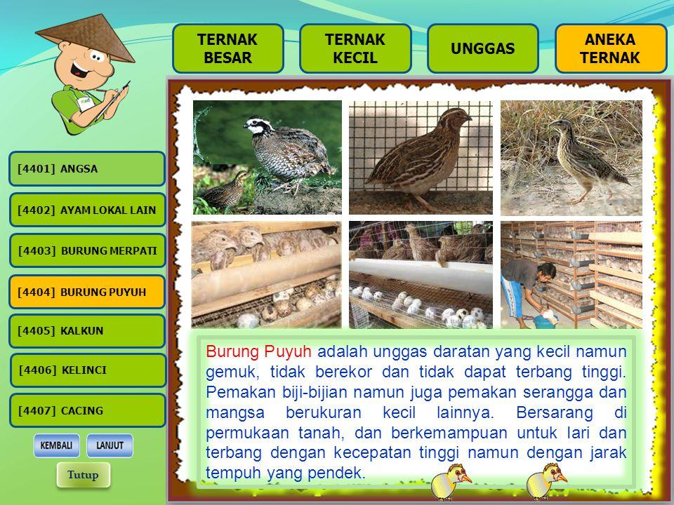 BESAR TERNAK KECIL UNGGAS Merpati adalah burung yang biasa ditangkar oleh kalangan masyarakat, baik itu masyarakat menengah ke bawah atau menengah ke