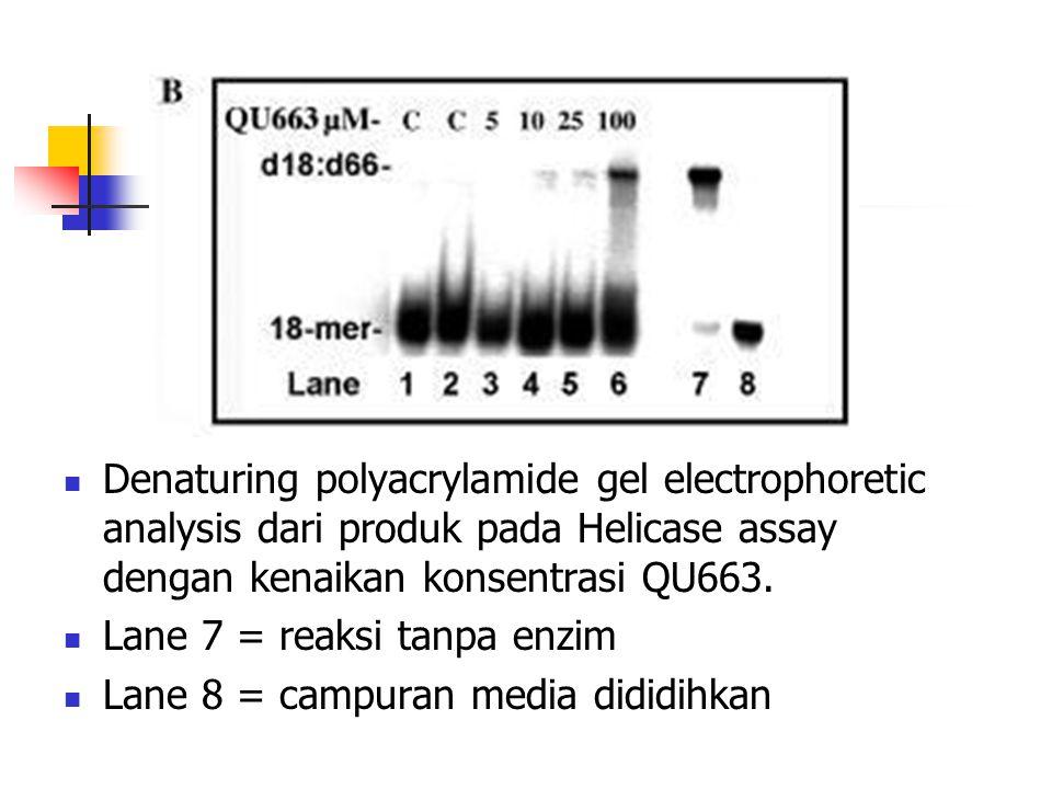  Denaturing polyacrylamide gel electrophoretic analysis dari produk pada Helicase assay dengan kenaikan konsentrasi QU663.  Lane 7 = reaksi tanpa en