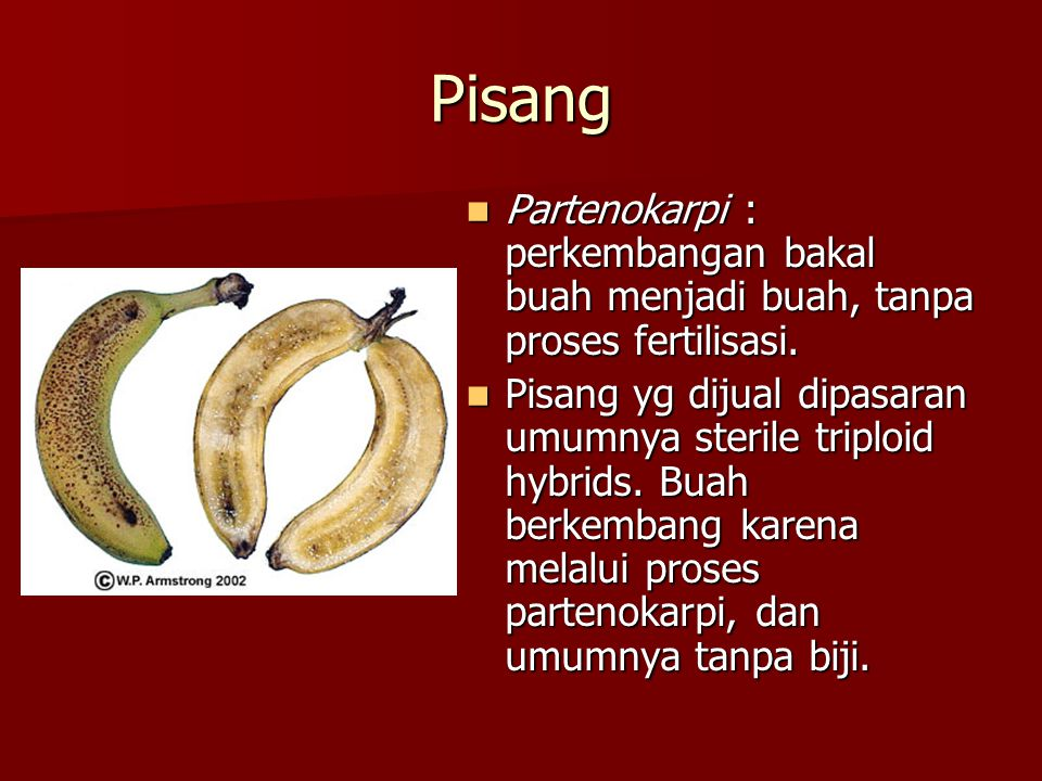 Pisang  Partenokarpi : perkembangan bakal buah menjadi buah, tanpa proses fertilisasi.  Pisang yg dijual dipasaran umumnya sterile triploid hybrids.