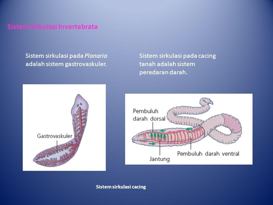 Sistem Sirkulasi Invertebrata Sistem sirkulasi cacing Sistem sirkulasi pada Planaria adalah sistem gastrovaskuler.