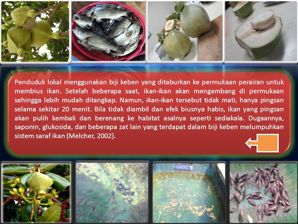 Penduduk lokal menggunakan biji keben yang ditaburkan ke permukaan perairan untuk membius ikan.