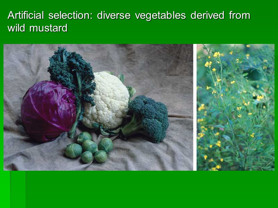 Artificial selection: diverse vegetables derived from wild mustard