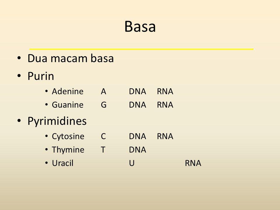 Basa • Dua macam basa • Purin • AdenineADNARNA • GuanineGDNARNA • Pyrimidines • CytosineCDNARNA • ThymineTDNA • UracilURNA